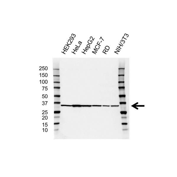 Ldha Antibody (PrecisionAb<sup>TM</sup> Antibody) gallery image 1