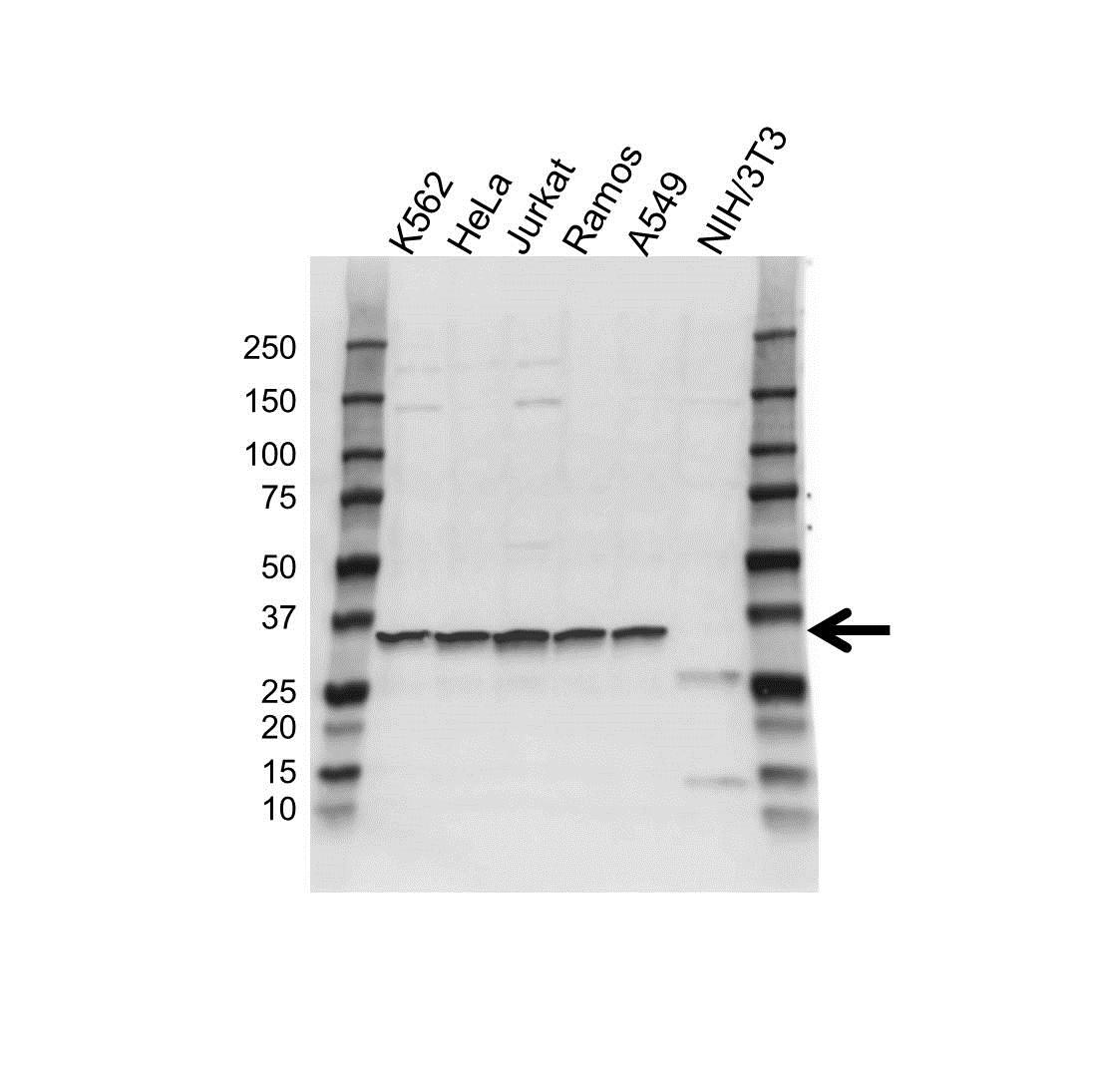 LDHB Antibody (PrecisionAb<sup>TM</sup> Antibody) gallery image 1