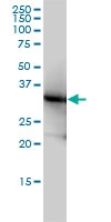 LDHB Antibody | 2H6 gallery image 1