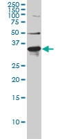 LDLRAP1 Antibody | 4G4-D5 gallery image 1