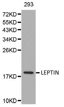 Leptin Antibody gallery image 1
