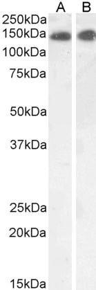Leptin Receptor Antibody gallery image 1