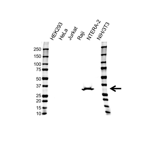 LIN28A Antibody (PrecisionAb<sup>TM</sup> Antibody) gallery image 1