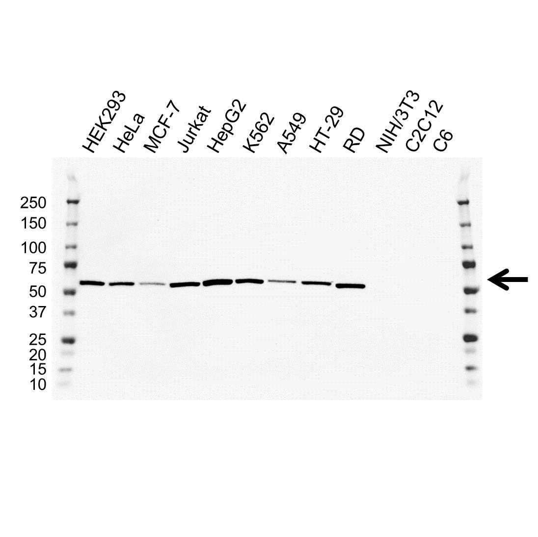 LMAN1 Antibody (PrecisionAb<sup>TM</sup> Antibody) | OTI2B10 gallery image 1