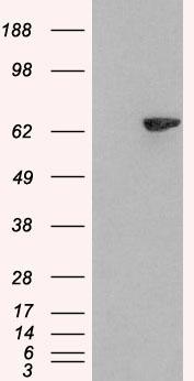 Lnk Antibody gallery image 2