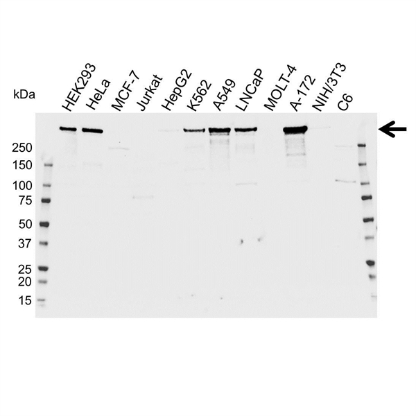 LRRK2 Antibody (PrecisionAb<sup>TM</sup> Antibody) gallery image 1