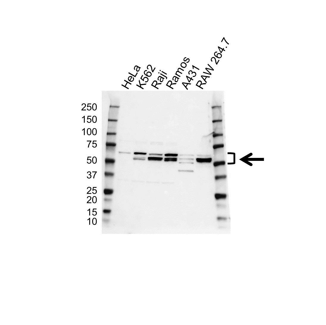 Lyn Antibody (PrecisionAb<sup>TM</sup> Antibody) gallery image 1