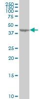 LYPLA3 Antibody | 3B11 gallery image 1