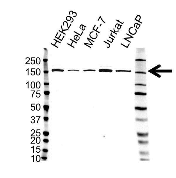Lysine-Specific Demethylase 3A Antibody (PrecisionAb<sup>TM</sup> Antibody) gallery image 1