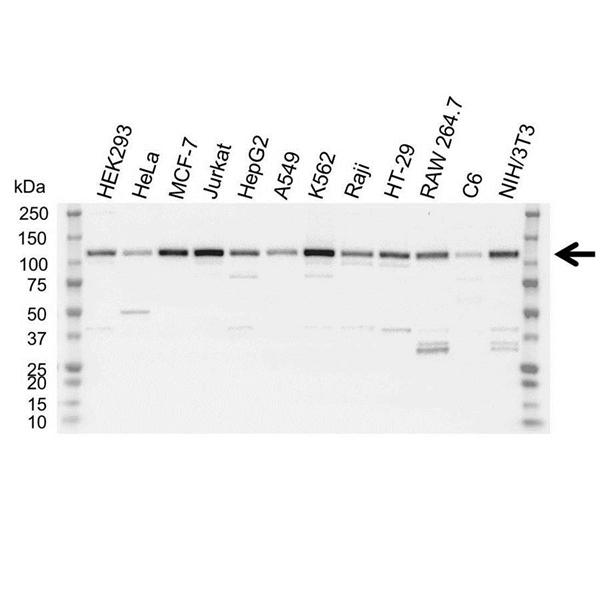 Lysine-Specific Histone Demethylase Antibody (PrecisionAb<sup>TM</sup> Antibody) gallery image 1