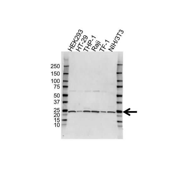 MAD2 Antibody (PrecisionAb<sup>TM</sup> Antibody) gallery image 1
