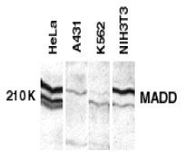 MADD Antibody gallery image 1