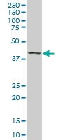 Maf Antibody | 6B8 gallery image 1