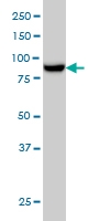 MAN1B1 Antibody | 6B1 gallery image 2