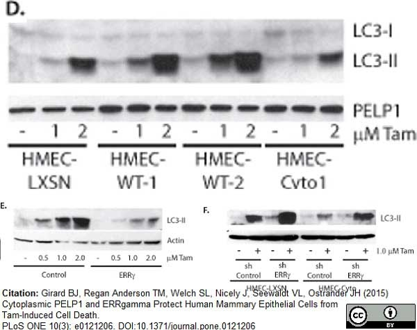 MAP1LC3A/B Antibody gallery image 3