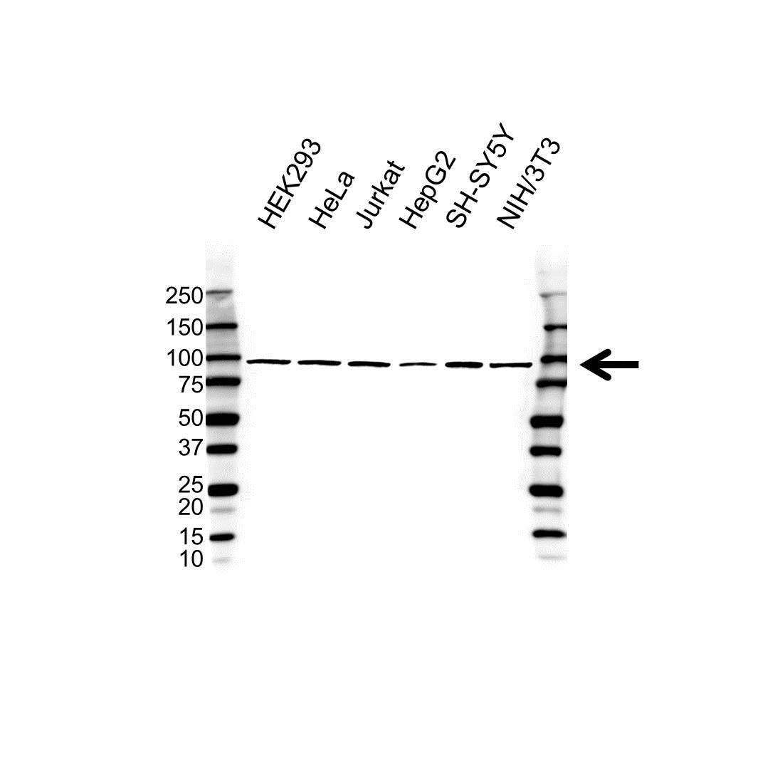 MAP3K12 Antibody (PrecisionAb<sup>TM</sup> Antibody) gallery image 1