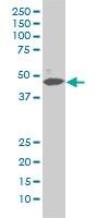 MAPK1 Antibody | 1D1 gallery image 2