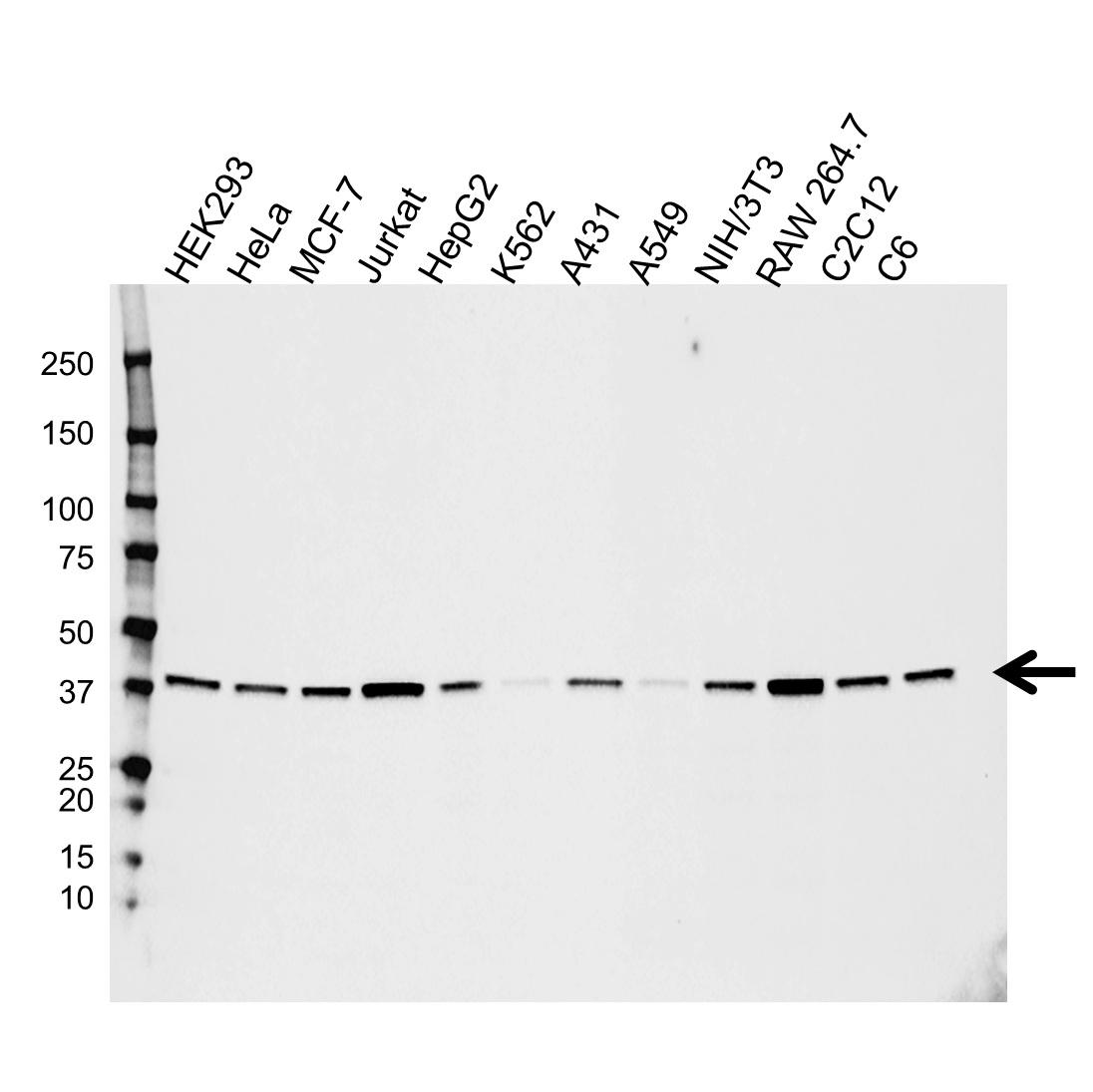 MAPK14 Antibody (PrecisionAb<sup>TM</sup> Antibody) gallery image 2