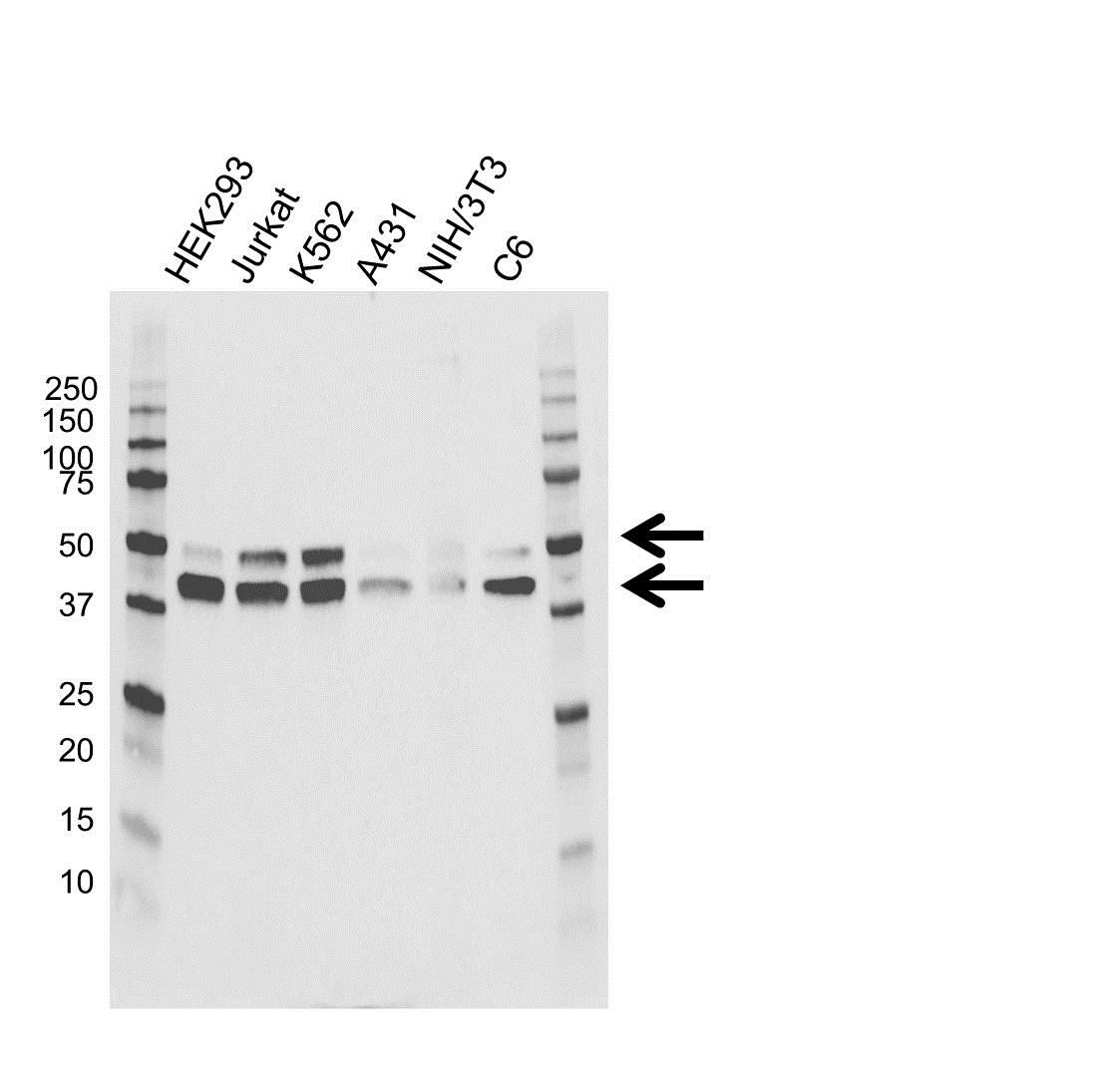 MAPK8 / JNK1 Antibody (PrecisionAb<sup>TM</sup> Antibody) gallery image 1