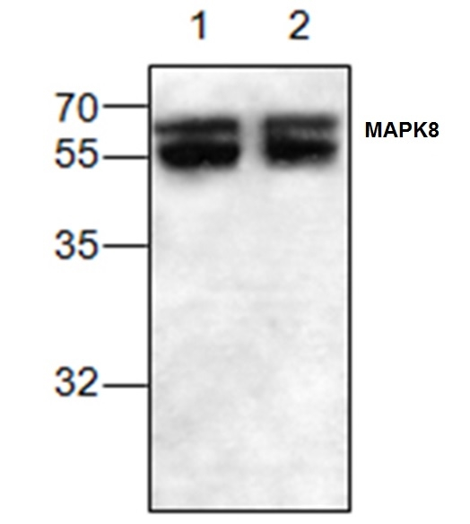MAPK8 / JNK1 Antibody gallery image 1