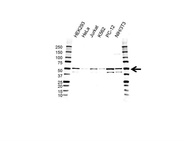 MAPK9 / JNK2 Antibody (PrecisionAb<sup>TM</sup> Antibody) | OTI1A1 gallery image 1