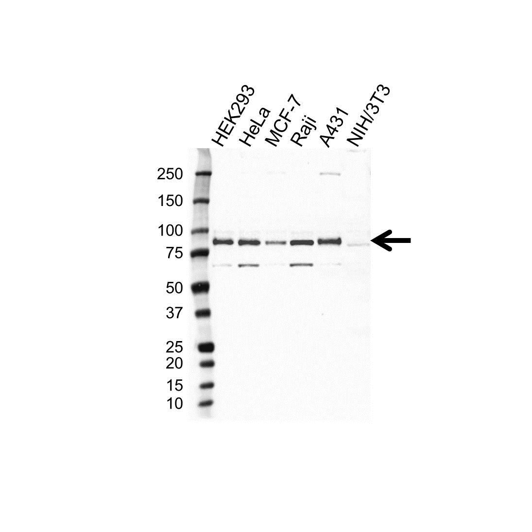 MARCKS Antibody (PrecisionAb<sup>TM</sup> Antibody) gallery image 1