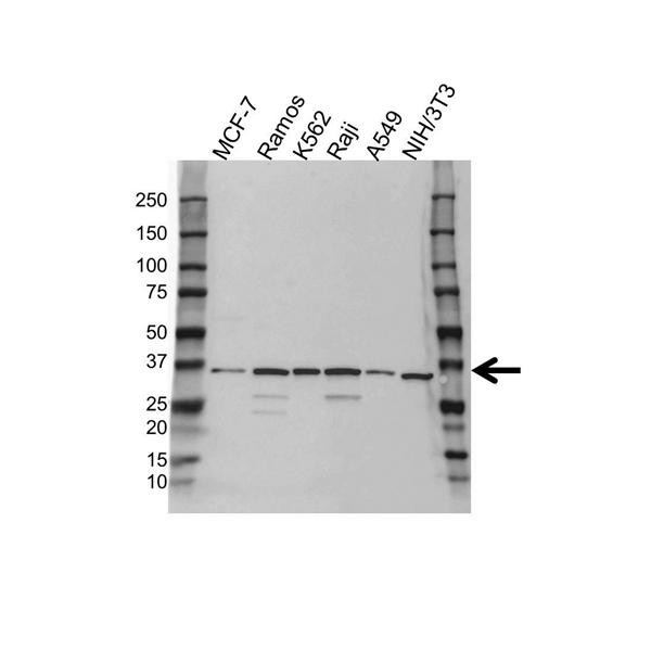Mcl-1 Antibody (PrecisionAb<sup>TM</sup> Antibody) gallery image 1