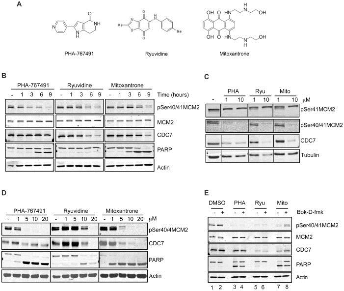 MCM2 Antibody | CRCT2.1 gallery image 7