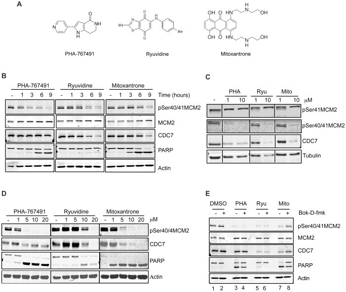 MCM2 Antibody | CRCT2.1 gallery image 8