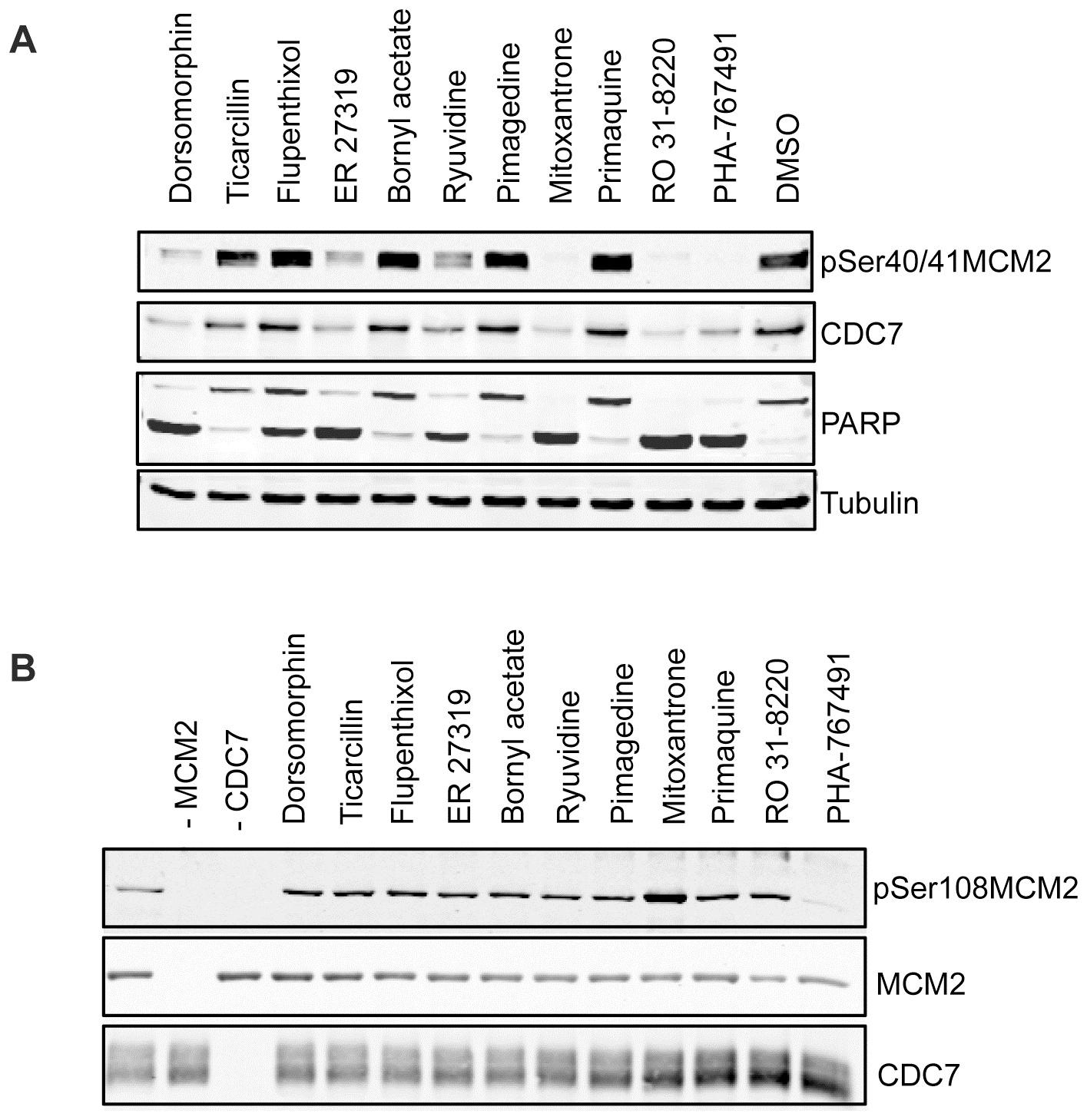 MCM2 Antibody | CRCT2.1 gallery image 3