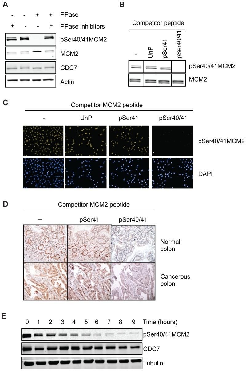 MCM2 Antibody | CRCT2.1 gallery image 5