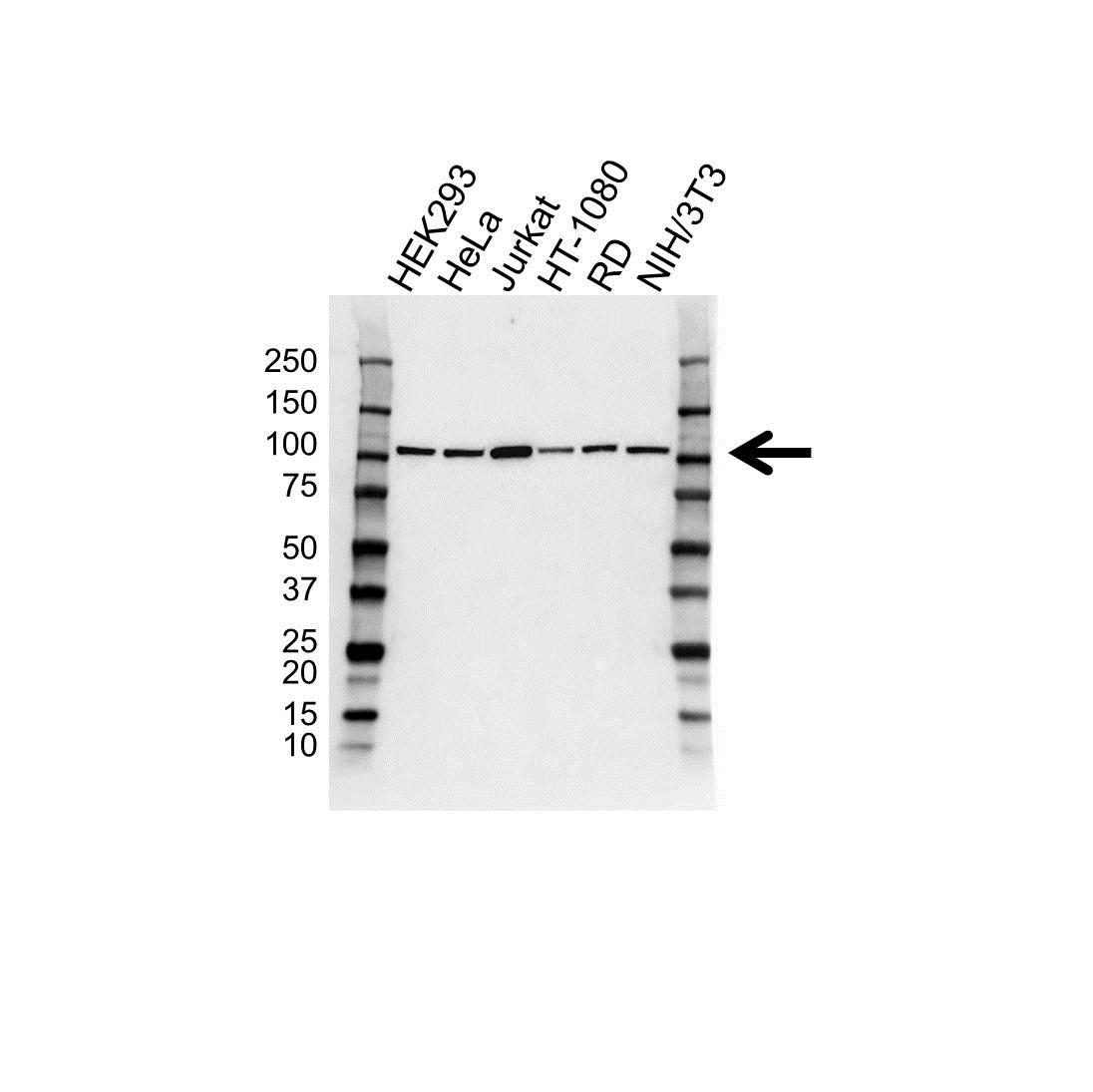 MCM3 Antibody (PrecisionAb<sup>TM</sup> Antibody) gallery image 1