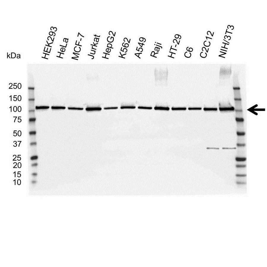 MCM6 Antibody (PrecisionAb<sup>TM</sup> Antibody) gallery image 1