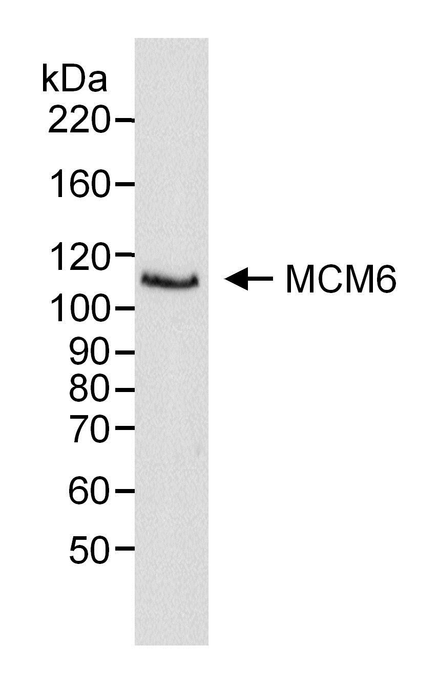 MCM6 Antibody gallery image 1