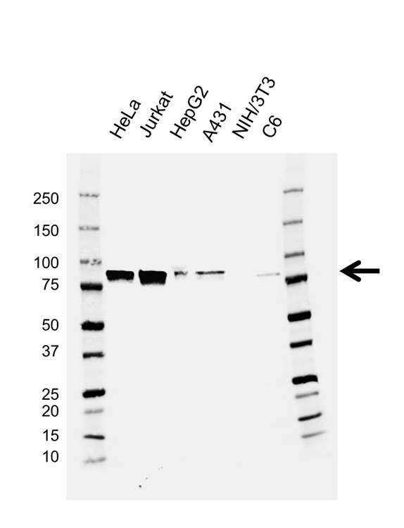 MCM7 Antibody (PrecisionAb<sup>TM</sup> Antibody) | AB04/3F1 gallery image 1