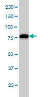 MCM7 Antibody | 6C2 gallery image 1
