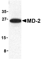 MD-2 Antibody gallery image 1