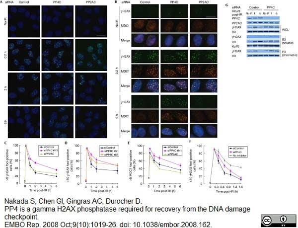 MDC1 Antibody gallery image 1