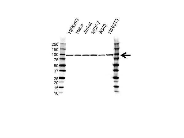 MED17 Antibody (PrecisionAb<sup>TM</sup> Antibody) gallery image 1