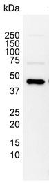 MEK 1 Antibody | 5812 gallery image 2