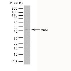 MEK 1 Antibody | 5812 gallery image 1