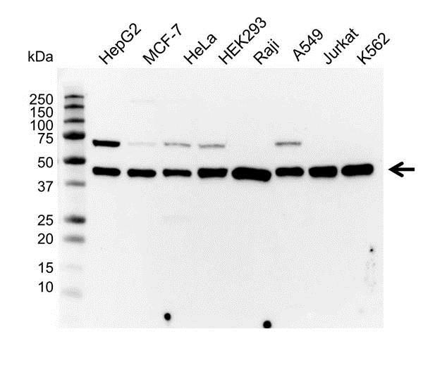 MEK 1 Antibody (PrecisionAb<sup>TM</sup> Antibody) gallery image 1