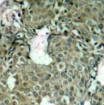 MEK 1 (pSer221) Antibody gallery image 2