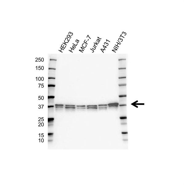 MEK 6 Antibody (PrecisionAb<sup>TM</sup> Antibody) gallery image 1
