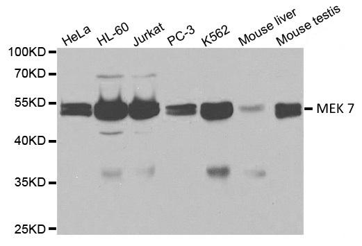 MEK 7 Antibody gallery image 1