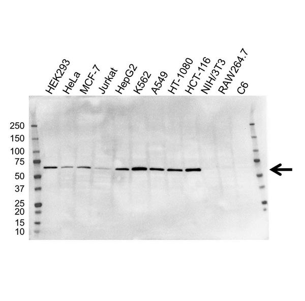 METAP2 Antibody (PrecisionAb<sup>TM</sup> Antibody) | OTI1F6 gallery image 1