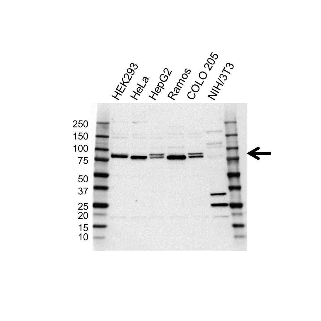 MFN2 Antibody (PrecisionAb<sup>TM</sup> Antibody) gallery image 1