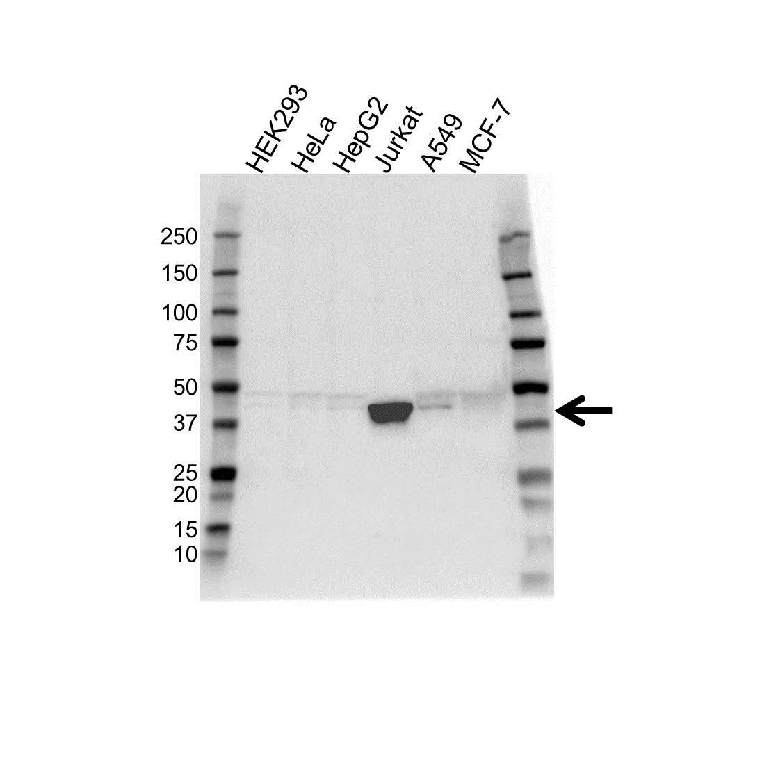 Micb Antibody (PrecisionAb<sup>TM</sup> Antibody) gallery image 1