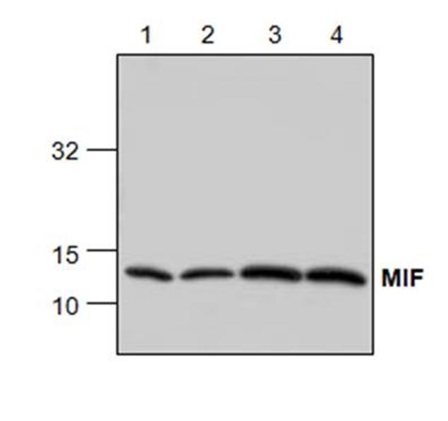 MIF Antibody gallery image 1