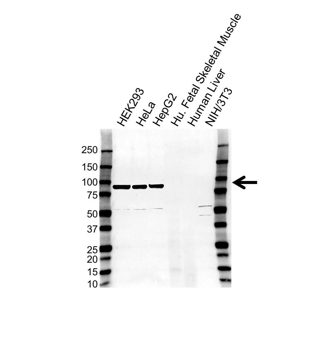 Mitofilin Antibody (PrecisionAb<sup>TM</sup> Antibody) gallery image 1